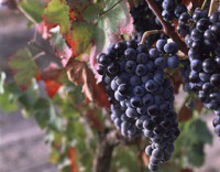 Aglianico grape