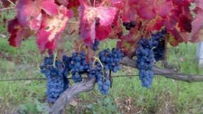 Red wine Campi Taurasini Doc Irpinia -